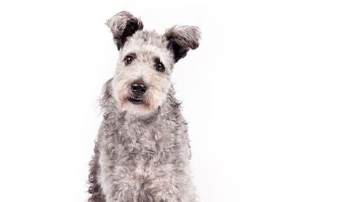 In this undated photo provided by the American Kennel Club, a pumi is shown. The high-energy Hungarian herding dog is the latest new breed headed to the Westminster Kennel Club and many other U.S. dog shows. The American Kennel Club is announcing Wednesday, June 22, 2016, that it is recognizing the pumi (POOM'-ee). It's the 190th breed to join the roster of the nation's oldest purebred dog registry.