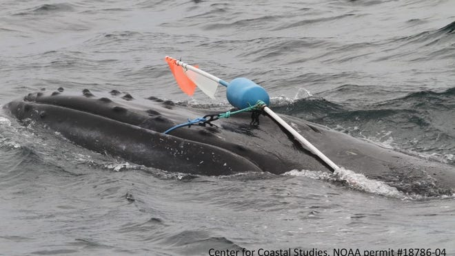 A Center for Coastal Studies Marine Animal Entanglement Response team from Provincetown disentangled a humpback whale Wednesday that had fishing buoys on its head and rope entering its mouth.