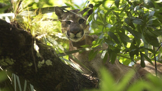 A florida panther waits in a tree on Monday, March 3, 2008, in the Big Cypress National Preserve near Ochopee. A veterinarian, biologists and a hunter tracked the panther and while it was in the tree tranquilized it so it could be studied and recollared.