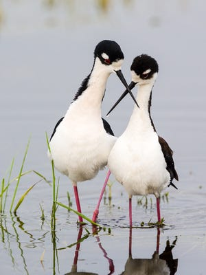 """""""Black-Necked Stilts"""" by David Satterwhite was photographed at Vidauri Ranch, Refugio County. The photo was selected for display as part of the Wildlife in Focus' educational exhibit at the South Texas Botanical Gardens & Nature Center."""
