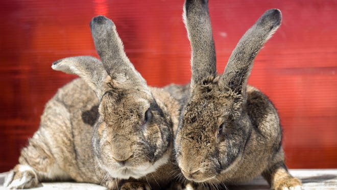 Two Flemish giant rabbits.