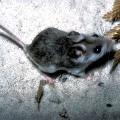 The Perdido Key beach mouse is an endangered species.