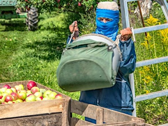 A seasonal worker prepares to transfer apples from a picking bag into a bin at Sodoma Farms in Brockport.