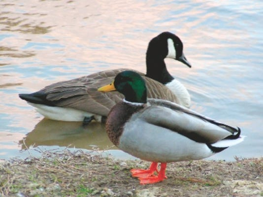 635858001865112450-Mallard-and-Canada-Goose.jpg