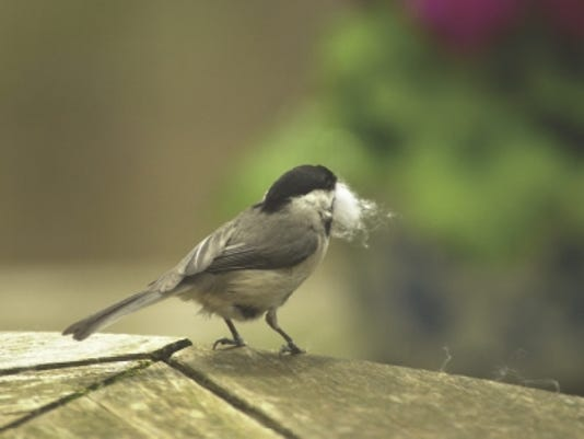 636603397304299606-chickadee-with-nesting-material.jpg