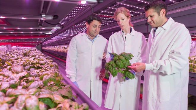 FarmedHere's new CEO Matt Matros inspects organic basil growing inside the company's indoor Chicago farm.