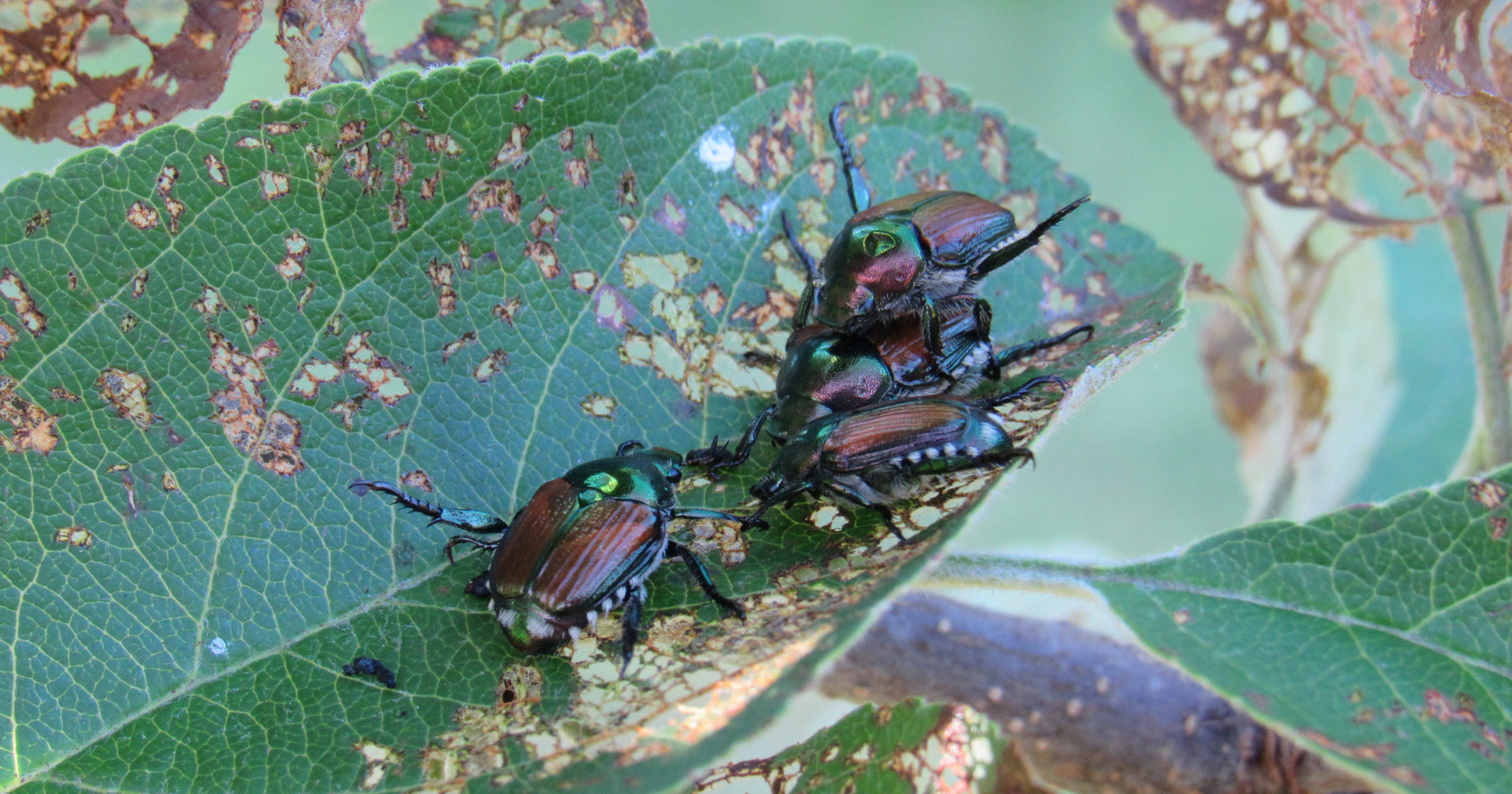 Japanese beetles invade central Wisconsin