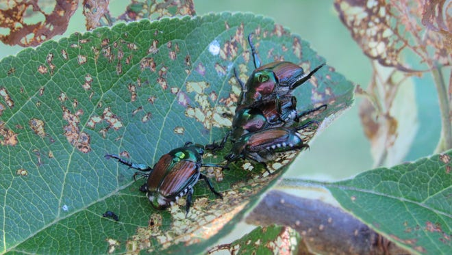 Japanese beetles feast on the leaves of an apple tree Tuesday, July 18, 2017, in Vesper, Wisconsin.