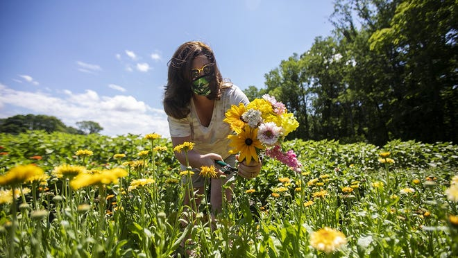 Kari Lawson of Easton picks flowers at the Langwater Farm flower CSA in Easton on Tuesday, July 14, 2020. Lawson was gifted the CSA from a friend and this is the second week she has come to make her own bouquet.