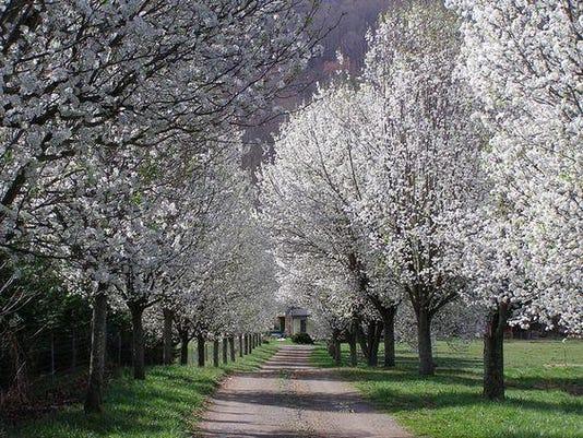 callery pear tree photo