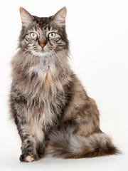 Juliette, a 5-year-old female domestic longhair cat. No. 92783.