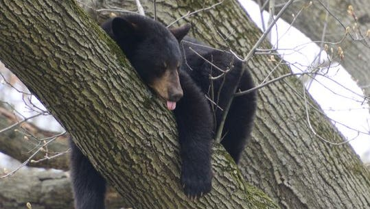 A black bear sleeps in a tree in the backyard of a home on Benton Road in Paramus on April 30.