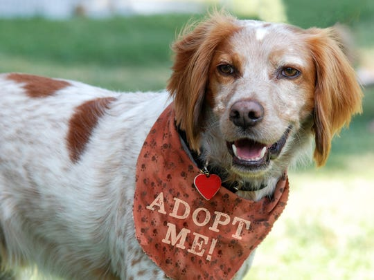 This Brittany Spaniel dog is an example of the many