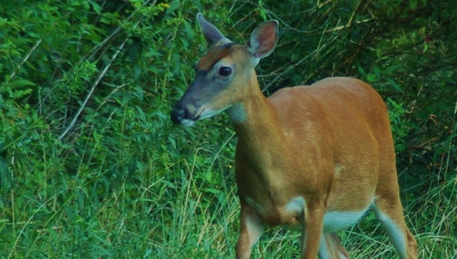 With the deer harvest report in hand, the PGC Commissioners will decide how many antlerless permits will be issued for the upcoming deer seasons.