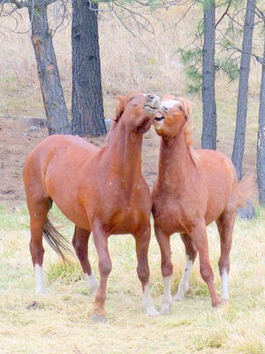 Horses engage in some nuzzlng near Bonito River.