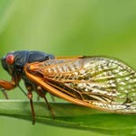 Periodic cicadas have distinctive red eyes, black bodies and are slightly smaller than the annual cicadas that appear annually in late summer.