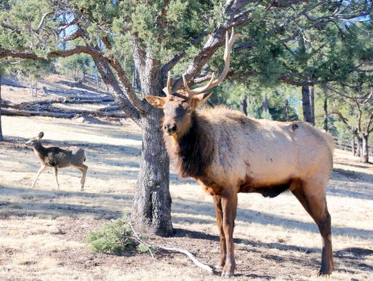 Tremblay said the bull elk did a little tree trimming