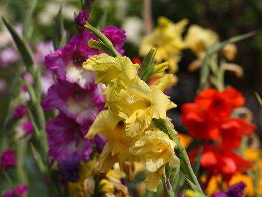 Garden gladiolus