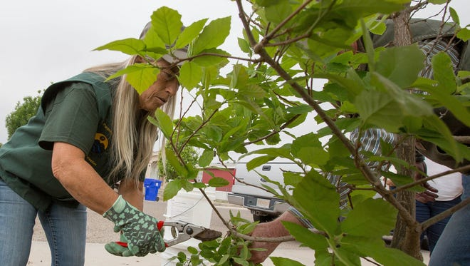 Tina Smiley, a volunteer with the Las Cruces Tree Stewards, left, gets advice from Jimmy Zabriskie, right, the city's community forester about where to trim broken branches on a Chinquapin Oak tree, they planted at Ponderosa Park, Friday April 27, 2018 as part of a Arbor Day Celebration.