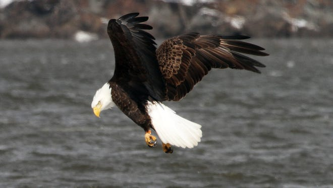 A bald eagle and an immature bald eagle look for fish along a partially frozen Hudson River in Stony Point Feb. 19, 2015.