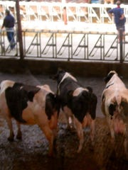 During a recent open house, these cows appeared to be watching the people as they toured the barn.