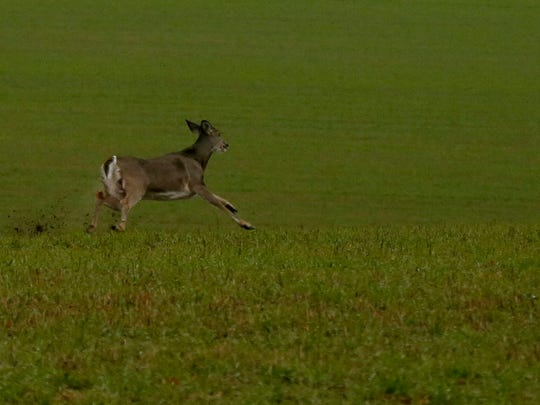 A deer runs across a field on the opening day of last year's gun deer season
