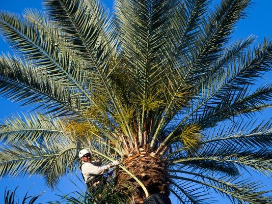 Palm fronds costing Phoenix