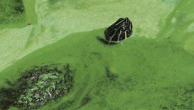 A turtle pokes its head up out of an algae bloom on the Caloosahatchee River Tuesday in Olga.