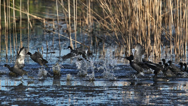 Ducks are shown in the marsh at Goose Pond Fish and Wildlife Area in Linton, Ind., Wednesday, Oct. 16, 2013.
