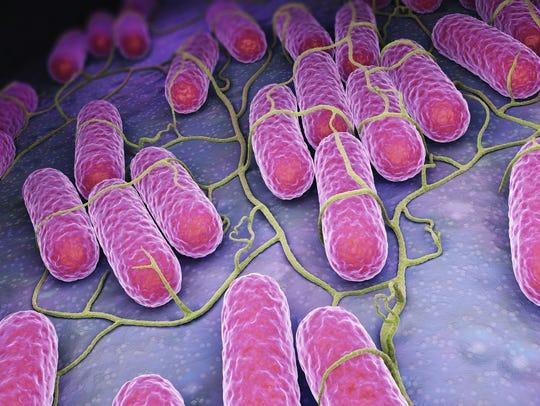 Culture of salmonella bacteria.