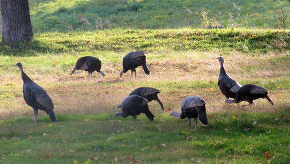 We spotted this flock of wild turkeys while we were