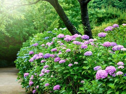 Flower of a hydrangea