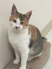 Hachi is a 5-month-old girl who has both brown tabby