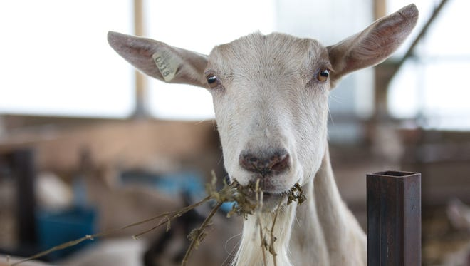 One of about 520 goats chows down at the Loudenbeck farm near Lake Geneva.