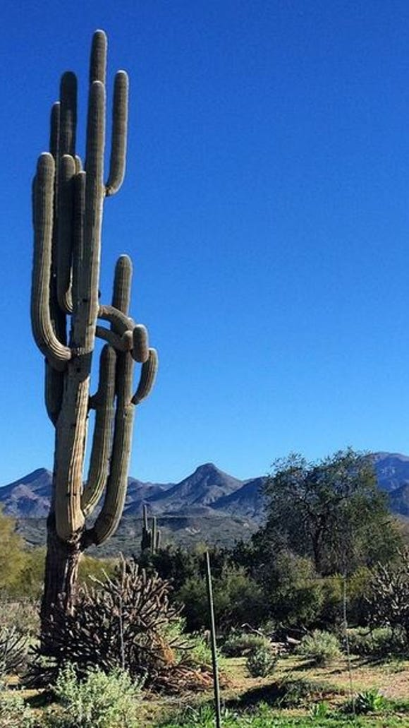 Unique and mature saguaro cacti along my ride in the