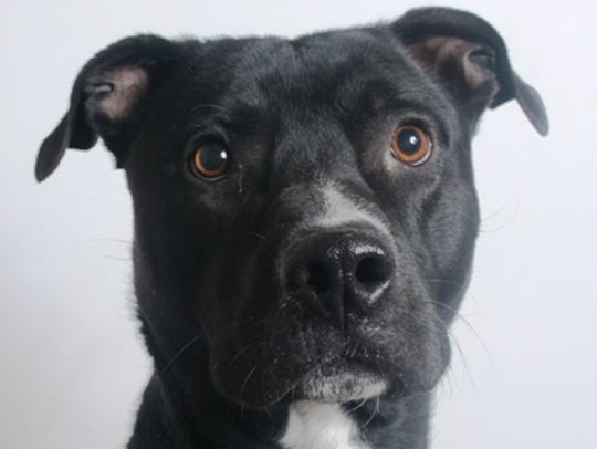 Charlie is a 2-year-old, black and white, male, border
