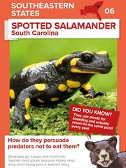 One of the Animals in America trading cards features the spotted salamander.