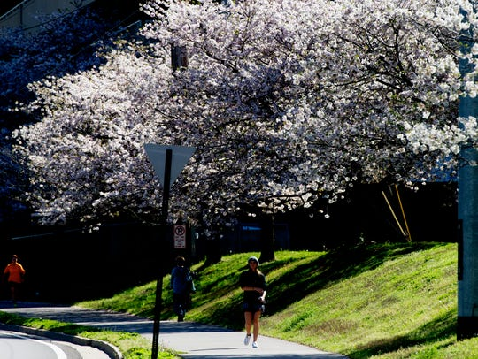 Trees bloom along Neyland Drive near Thompson-Boling