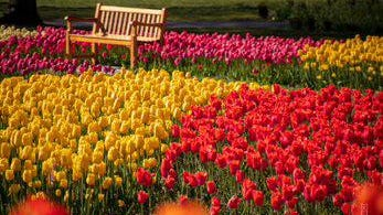 Tulips in full bloom in Holland. The annual Tulip Time festival was originally proposed by a member of the Holland Woman's Literary Club.