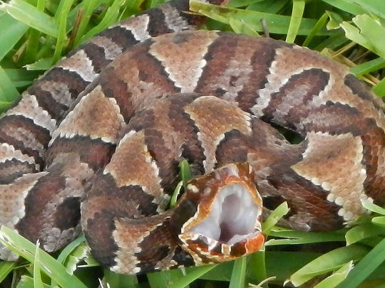 Venomous snakes kill about five people in the United