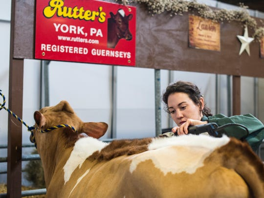 A woman trims a cow at the 101st annual Pennsylvania Farm Show on Wednesday, Jan. 11, 2017.