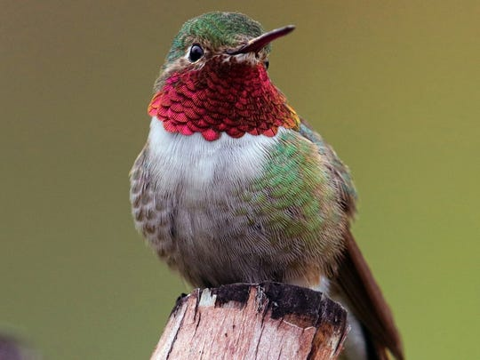 The loud trill made by a male broad-tail hummingbird is produced by their wingtips and is especially loud during courtship or aggressive territorial displays. It can be heard up to 250 feet away.  As feathers wear down, the trill becomes muted and is often inaudible by midwinter. Hummers chirp, but sing no songs. Each and every feather is designed for one purpose, they each fit into a fine art mosaic. Some are long and slender, others are fan shaped and overlap in delicate designs