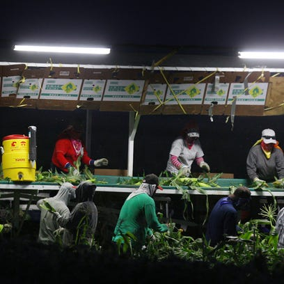 Agricultural workers work at night in Mecca during