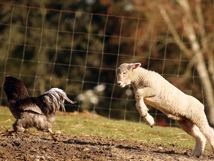 A lamb bounds after a chicken while frolicking in the