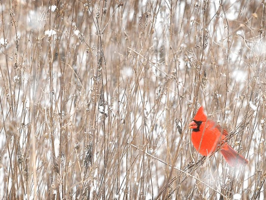 A cardinal sits on a reed above the snow covered ground