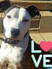 Xena is an adult, spayed-female pit bull terrier. She