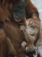 Merah the orangutan was 45 when she gave birth to Ginger in 2014.