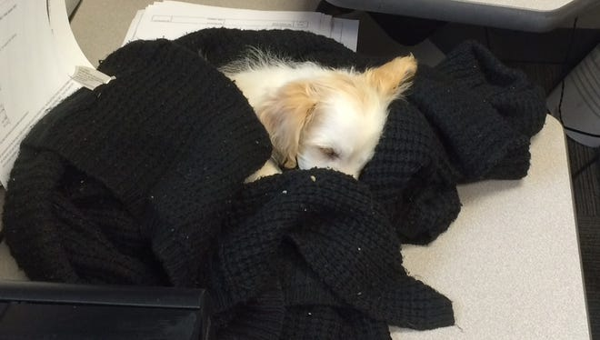 Stella, a Golden-Doodle, was rescued from a rollover crash in Washtenaw County. She is napping at the Michigan State Police Brighton Post.