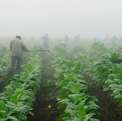 Workers make their way across a field shrouded in fog as they hoe weeds from a burley tobacco crop near Warsaw, Ky., early in this July 10, 2008, photo. You must be at least 18 to buy cigarettes in the U.S., but children as young as 7 are working long hours in fields harvesting nicotine- and pesticide-laced tobacco leaves, according to a May 2014 report from Human Rights Watch.