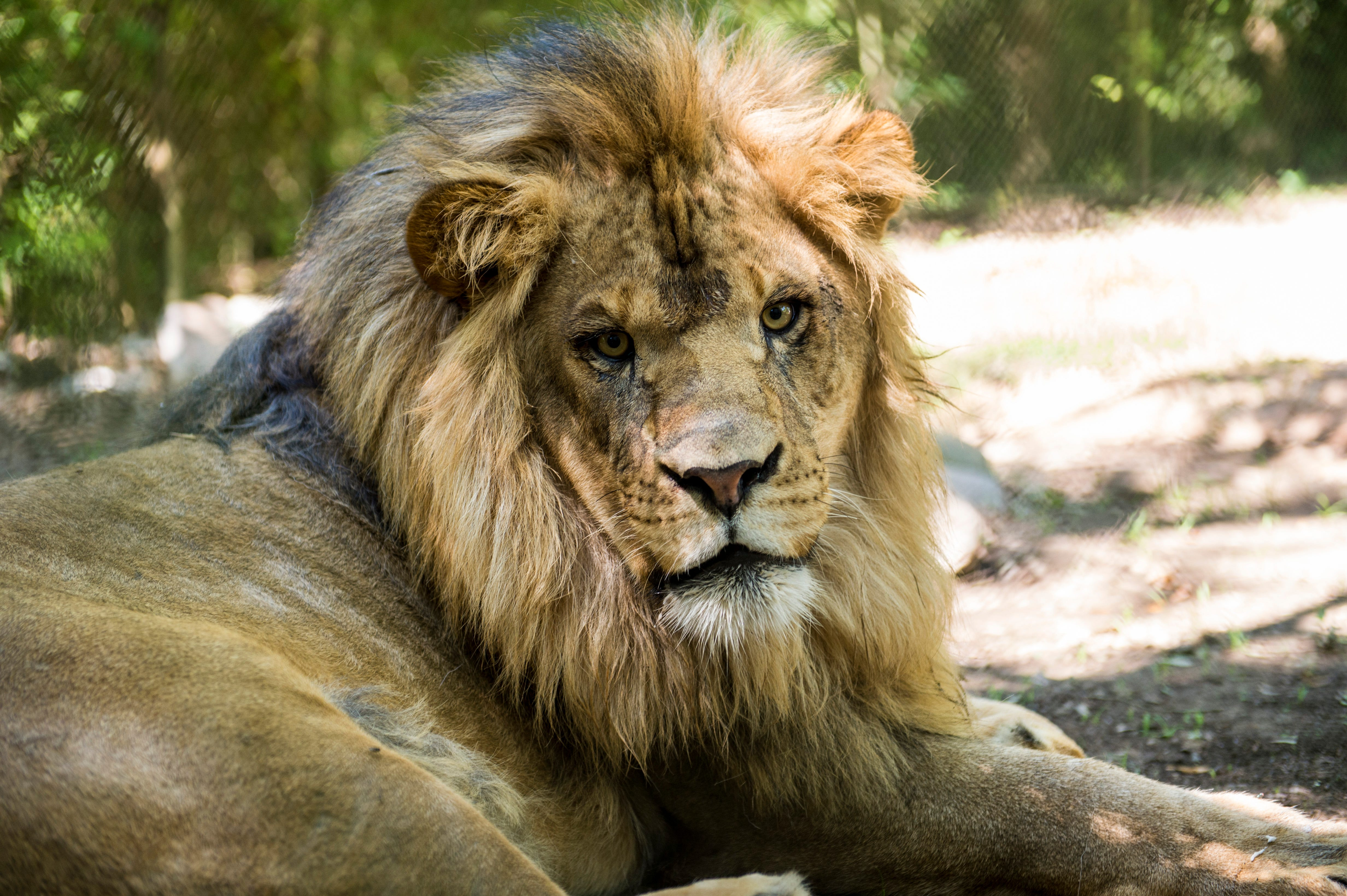 9 things to know about the zoos new lions